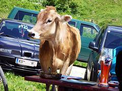 Kühe - die Bier lieben ...