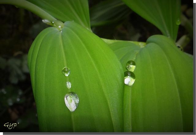 Perles de pluie ...