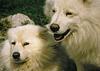 Weiße Huskies
