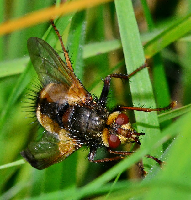 Parasitic Fly. Tachina fera