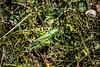 sauterelle femelle  - dectique verrucivore ou sauterelle à sabre