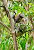 P1260444- Koala, Cape Otway - Great-Ocean-Road.  28 février 2020