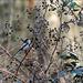 Orite à longue queue* (aegithalos caudatus) repérée dans ce sous-bois.
