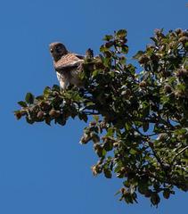 faucon crécerelle - col de Chironne - Vercors