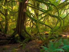 Cedar / Branches