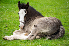 Shire horse foal