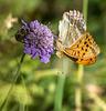 abeille - Argynnis paphia sur knautie des champs