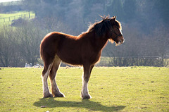 Shire horse33