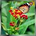 Kleine Monarch (Danaus chrysippus).  ©UdoSm