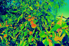 Les pommes d'or du Jardin des Hespérides.