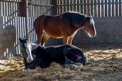Shire horses (1)