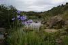 Iris xiphium, Aspargales, Moinho das Reliquias
