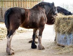 Shire horses32