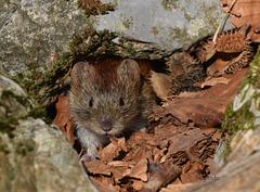 Little mountain mouse