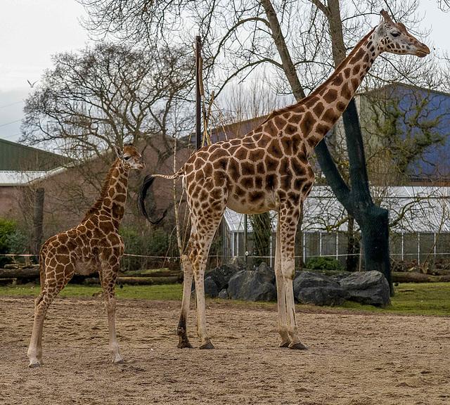 Mother and baby rothschild 's giraffe