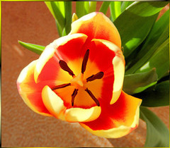 Tulip in the light of spring... ©UdoSm