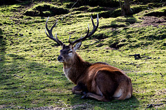 Stag (1)
