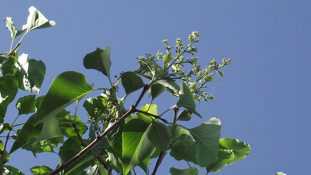 My lilac tree is starting to flower again!!!!
