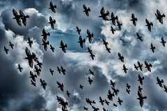 Dramatic Starlings