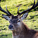 Stag (3)