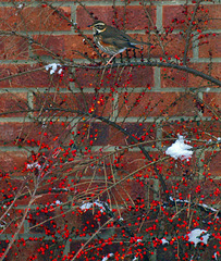 A Redwing on Cotoneaster.
