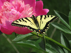 Butterfly on a Peony