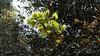 Yellow eucalypt