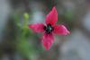 Papaver hybridum