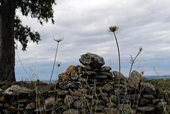Daucus carota in Penedos, Begging for rain, but rain didn't fall...