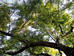 Tokyo maple