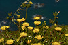 Chrysanthemum segetum, Pampilho-das-searas