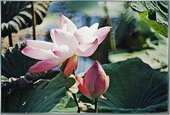 Lotusblüten. ©UdoSm