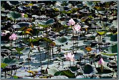 Grüße aus Thailand: Lotusteich am River Kwai. ©UdoSm