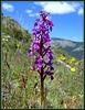 Orchid (Anacamptis picta). La Sierra de La Cabrera