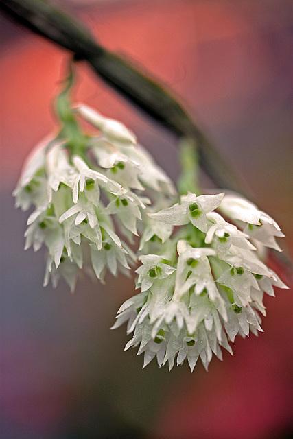 White Bottle Brush Orchid