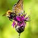 Kein Streit um den Nektar - No quarrel about the nectar