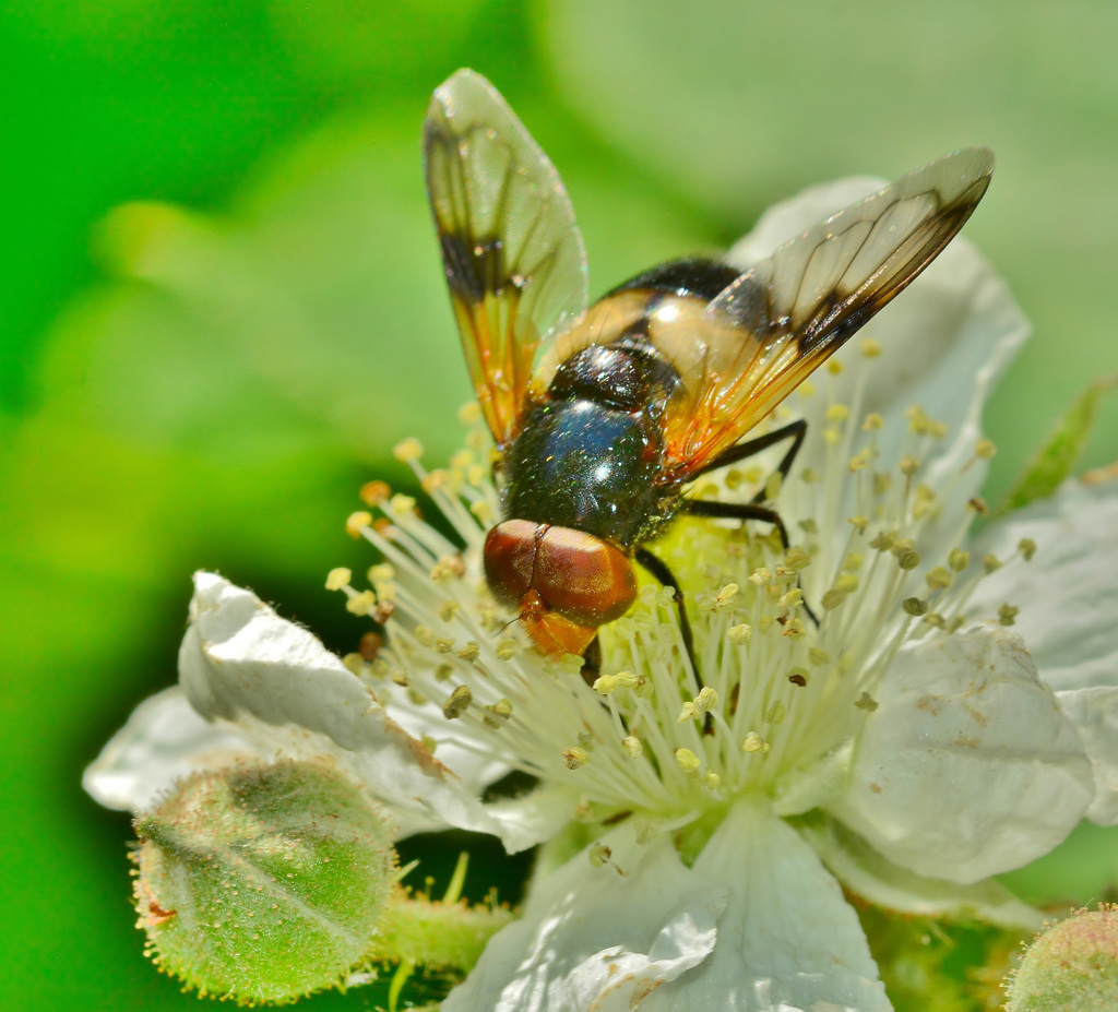 Hoverfly. Volucella pellucens