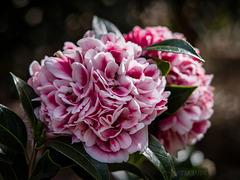 More camellias