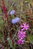 Silene scabriflora, Caryophyllales
