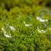81/366: Moss Covered with Droplets