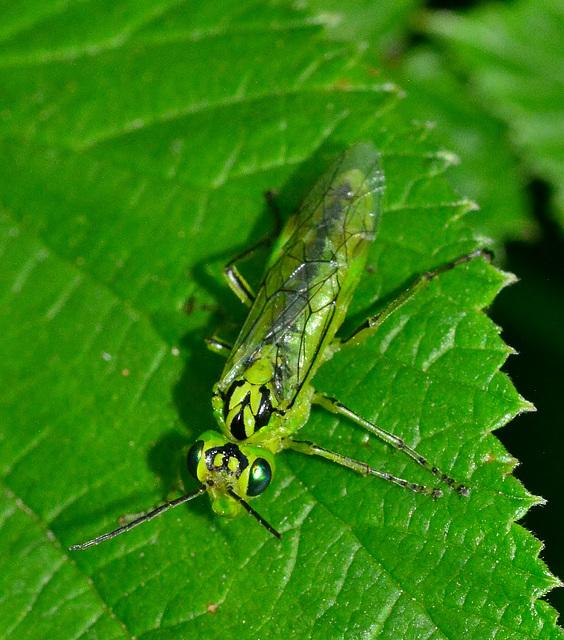 Sawfly. Rhogagaster viridis