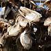 Norway, Lofoten Islands, Dried Cod Heads