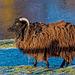 A Ramsay sheep