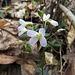 Toothwort Flowers