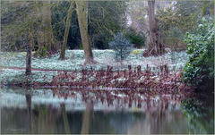 Snowdrops Carpet...