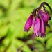 B.C. Wildflower