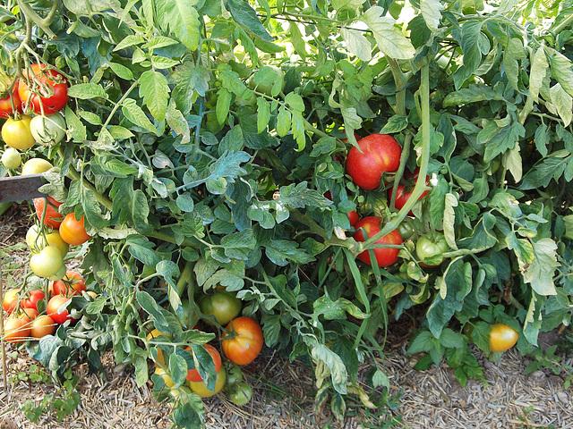 Tomates bio, pour la préparation d'une ratatouille/piperade (photo n°1)