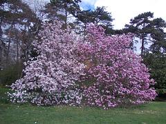les magnolias au parc