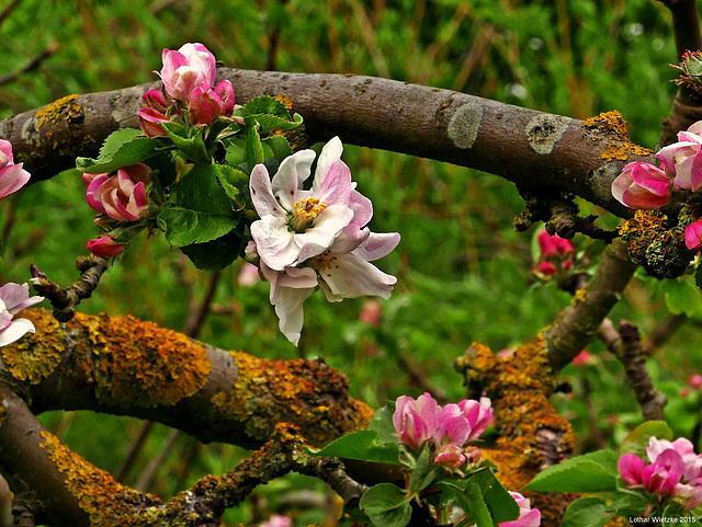 ...bejahrtes Apfelgehölz in der Blütezeit...