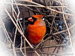 Un Cardinal...